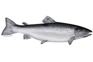 Manfaat dan Khasiat Ikan Salmon Atlantik
