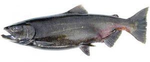 Manfaat dan Khasiat Ikan Salmon Chinook