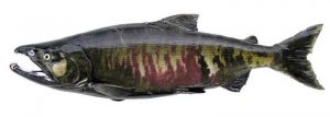 Manfaat dan Khasiat Ikan Salmon Chum