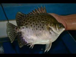 Seni Memancing Ikan Kiper
