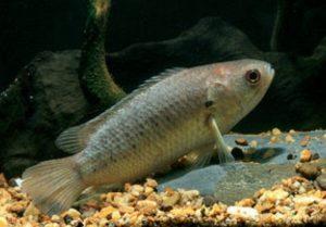 Tips Memancing Ikan Betok di Sawah dan Rawa