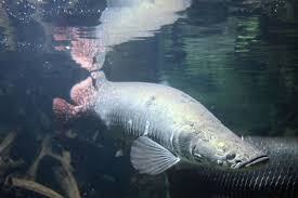 Tips Memelihara Ikan Predator