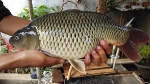 Umpan Ikan Mas Menggunakan Campuran Ikan Sarden