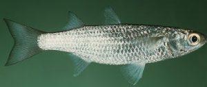 Umpan Jitu Untuk Memancing Ikan Belanak