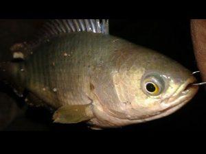 Umpan Paling Mudah Untuk Mancing Ikan Betok / Betik