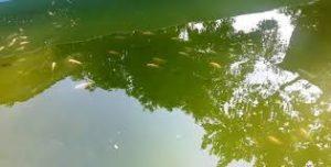 Umpan untuk kolam ikan warna hijau pekat
