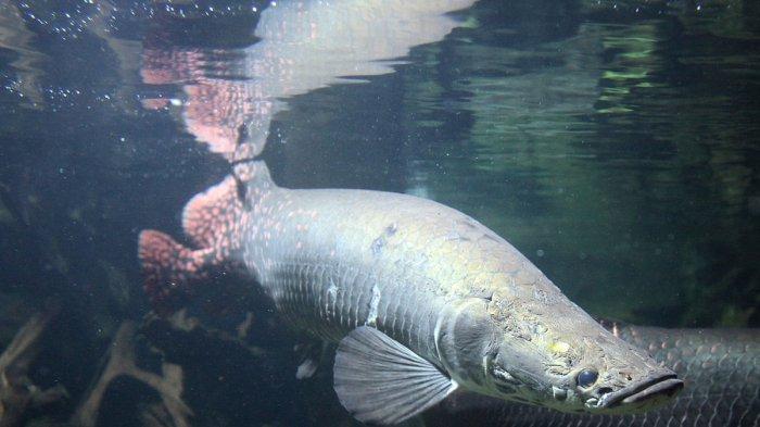 Mengenal Karakteristik Ikan Predator