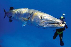 Karakteristik Ikan Barakuda