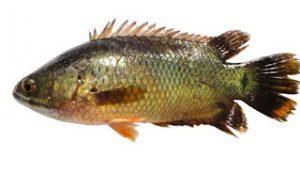 Ikan Betok Dan Habitatnya