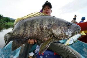 Ikan black bass di sungai baliase,sulawesi selatan kabupaten luwu utara