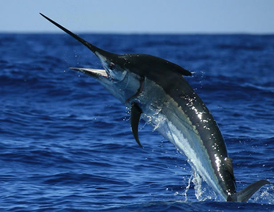 Mengenal Black Marlin