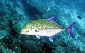 Mengenal Bluefin Trevally