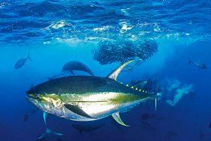 Mengenal Lebih Dekat Ikan Cakalang