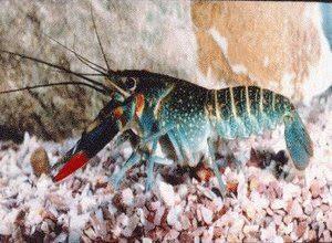Mancing Lobster Air Tawar