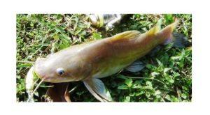 Cara Mancing Ikan Baung
