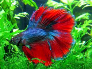 Cara Paling Mudah Dan Sederhana Mengobati Penyakit Sisik Nanas Pada Ikan Cupang