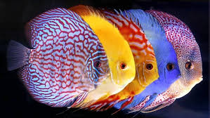 Cara Budidaya dan Pemeliharaan Ikan Hias