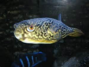 Jenis Ikan Buntal