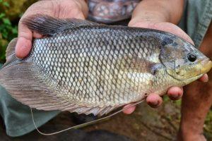Umpan Jitu Ikan Gurami Media Ubi Jalar
