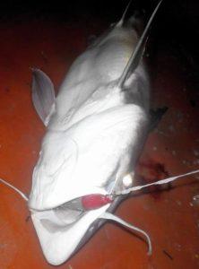 Mengenal Lebih Rinci Tentang Ikan Jahan