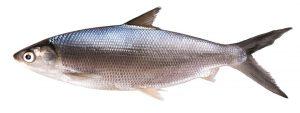 Cara bikin umpan ikan bandeng