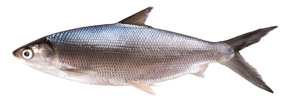 Ikan Bandeng Umpan Ikan Umpan Ikan Bandeng Mancing Ikan Bandeng Habitat Ikan Bandeng Umpan Toko Pancing Langgengpancing 0821 383 01234 Toko Pancing Grosir Pancing Solo Alat Pancing