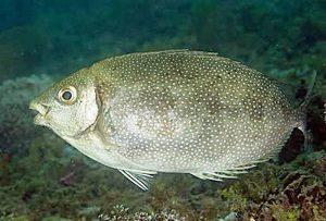 Musim dan Spot Mancing yang Tepat untuk Mancing Ikan Baronang