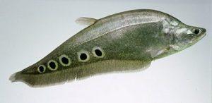 Cara Dan Umpan Mancing Ikan Belida