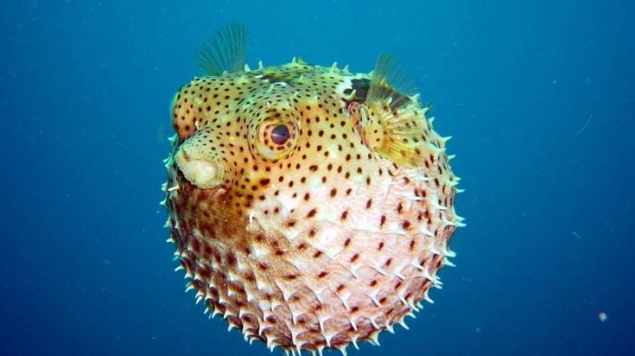 Sensasi Sang Ikan Buntal