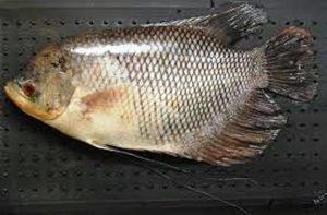 Umpan mancing ikan gurame di rawa dan kolam