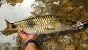 Ikan Hampala Sungai Klawing Purbalingga