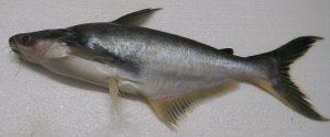 Manfaat dan Khasiat Ikan Jendil