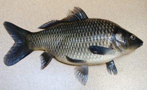 Manfaat dan Khasiat Ikan Kakap Sirip Hitam