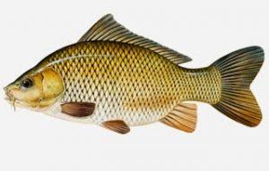 Tips dan Trik Sukses Mancing ikan Tombro Liar