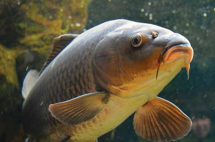Umpan Jitu Harian Ikan Mas Air Keruh Media Telur Bebek