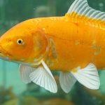 Ikan setan untuk umpan ikan mas?