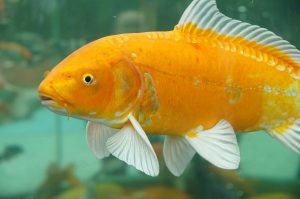 Umpan Jitu Ikan Mas Sungai dan Danau Saat Musim Hujan