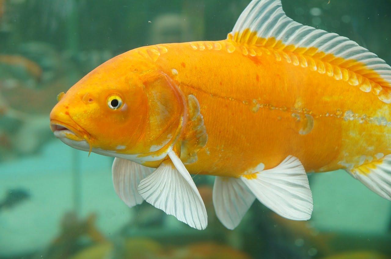 Umpan ikan mas sederhana dan dari bahan tahu
