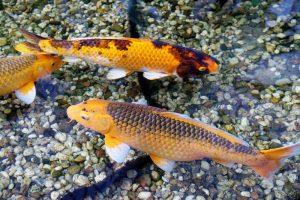 Umpan Ikan Mas dari bahan Tombro dan Mujaer