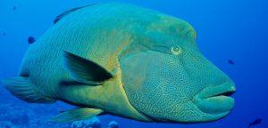 Cheilunus undulates, Sang Ikan Napoleon yang Mulai Punah Keberadaannya