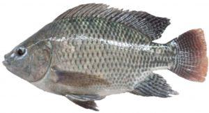 Umpan Mancing Ikan Nila Paling Ampuh