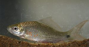 Umpan Jitu Ikan Nilem Aroma Wangi
