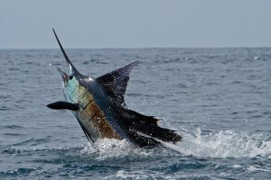 10 Jenis Ikan Billfish Target Para Pemancing Sportfishing