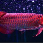 Silok dan Semah, Ikan Endemik Borneo yang Mulai Langka