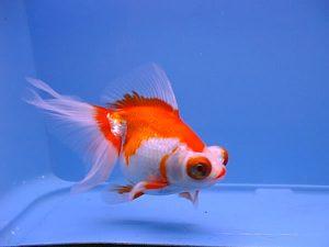 Ternyata Ikan Mas Koki Bisa Hidup Berbulan-bulan Tanpa Oksigen