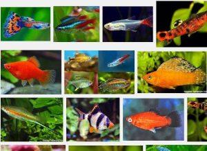 Jenis Ikan Hias Mudah Berkembang Biak