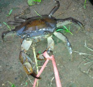 Ampuhnya Kepiting Yuyu Sebagai Umpan Mancing Ikan Lele
