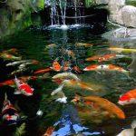 15 Cara Memelihara Ikan Koi Untuk Pemula yang Mudah