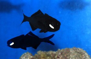Ikan Mirip Senter