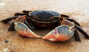 Cara Memancing Kepiting